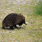Echidna crossing the road by Kymbo