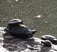 Turtles, Central Park, New York City  by lenspiro