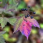 MAPLELEAF VIBURNUM - VIBURNUM ACERIFOLIUM by MotherNature