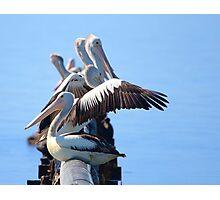 Pelican gathering Photographic Print