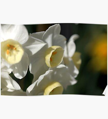 Shining Light - Daffodils Poster