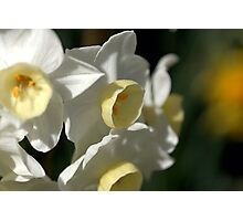 Shining Light - Daffodils Photographic Print
