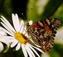 Meadow Argus Butterfly on a Marguerite Daisy by Gabrielle  Lees