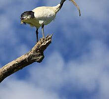 Ibis by Kymbo