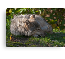 Taking A Nap Canvas Print