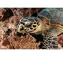Hawksbill turtle on coral reef Photographic Print
