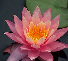 Very Pink Water Lily by BonnieJames