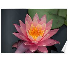 Very Pink Water Lily Poster
