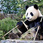 Chop Sticks - Funi   - Adelaide Zoo's Female Panda by chijude