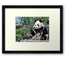 Chop Sticks - Funi   - Adelaide Zoo's Female Panda Framed Print