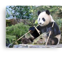 Chop Sticks - Funi   - Adelaide Zoo's Female Panda Metal Print