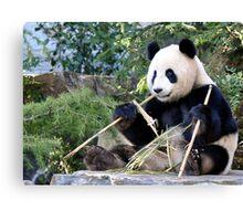 Chop Sticks - Funi   - Adelaide Zoo's Female Panda Canvas Print