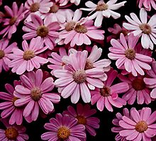 Pink Daisies by Alastair Creswell