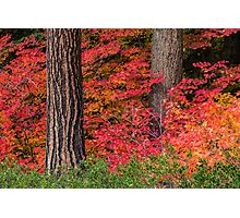 Vine Maples and PineTrees  Photographic Print