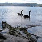 Black swans at Carnarvon Bay, Port Arthur, Tasmania, Australia by John Kleywegt