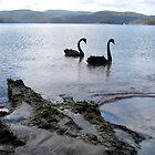 Black swans at Carnarvon Bay, Port Arthur, Tasmania, Australia by John Kleywegt
