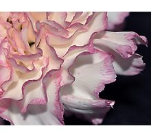 Tipped in Pink - Carnation or Tutu? Photographic Print