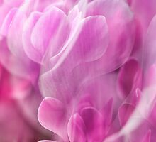 Cyclamen 4 by maxblack