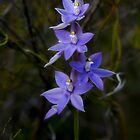 Scented Sun Orchid (thelymitra macrophylla) by Elaine Teague