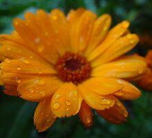 Marigold by tmac