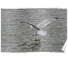 Herring Gull Landing on Water Poster