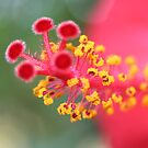 Macro Close Up Of Hibiscus Pollen by taiche
