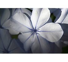 Pale Blue Plumbago Flower Close Up Photographic Print