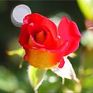 Rose Bud by Chet  King