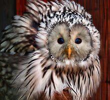 coxa owl naitive australian owl, by smurfette57