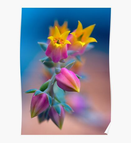 Echeveria cheering up the photographer Poster