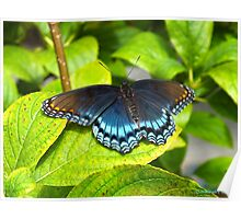 Red Spotted Purple Butterfly Poster