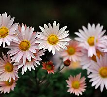 Touch Of Pink Daisy Mums I by Tom Baker