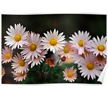 Touch Of Pink Daisy Mums I Poster