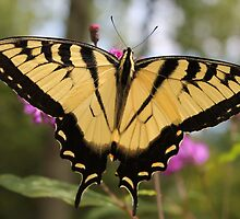 Swallowtail by Kelly Morris