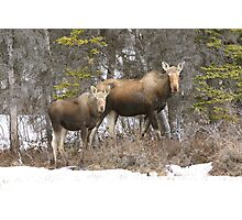 Moose cow & Calf (Alces alces) Photographic Print