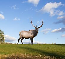 Elk on Hillside by Delmas Lehman