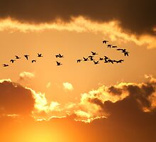 Canadian Geese Flying at Sunset by Delmas Lehman