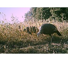 Turkey on the farm  Photographic Print