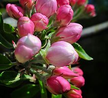 Apple blossom by Tobias King