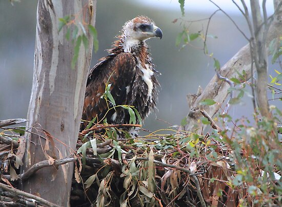 Wedge-tailed Eagle (Aquila audax) in the nest but only just. by Donovan wilson