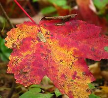 Autumn Color Duo by lorilee