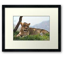 lioness 4  Framed Print