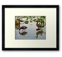 Mallard Duck Pair Framed Print