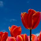 Tassie Tulips by gmws