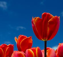 Tassie Tulips by Glenda Williams