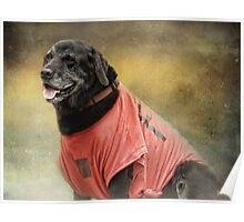 Black Lab in red top Poster