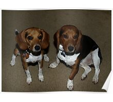 Two Beagles  Poster