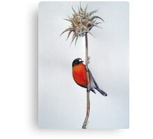Flame Robin on a Thorny Perch Canvas Print