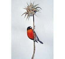 Flame Robin on a Thorny Perch Photographic Print