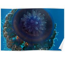 Cauliflower jellyfish Poster